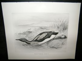 Frohawk 1898 Antique Bird Print. Black-Throated Diver